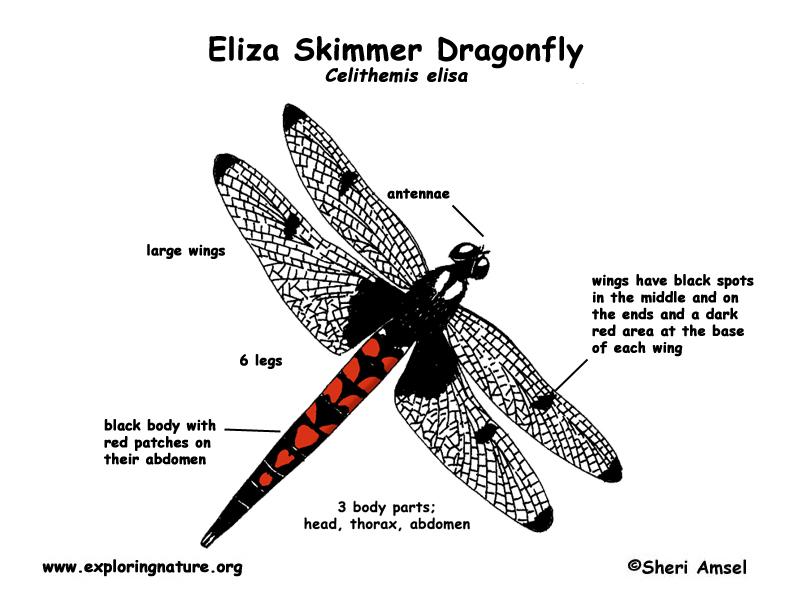 Dragonfly Mini Beasts